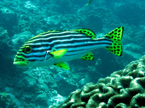 Oriental sweetlips southeast asia marine life sea undersea for Sweet lips fish