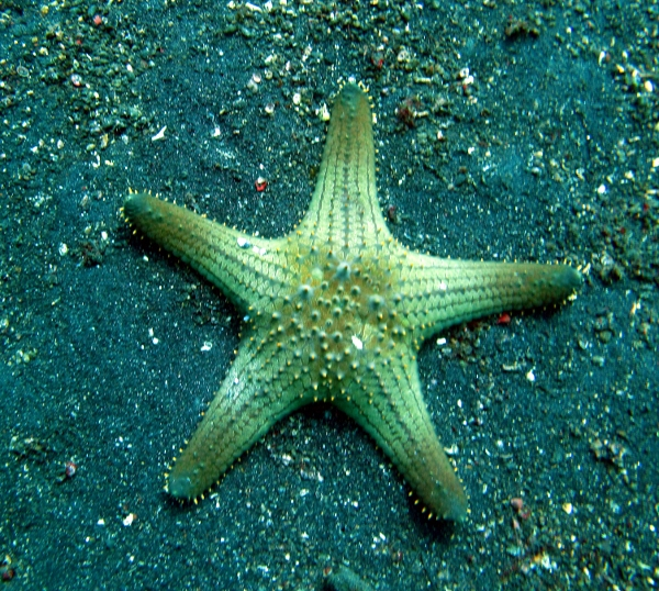 sea stars There are nearly 2000 species of sea stars in the world's oceans.